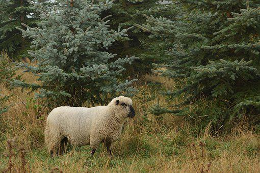 Sheep, Forest, Nature, Meadow, Landscape, Rural