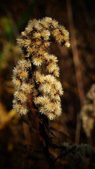 Golden Rod, Flowers, Plants, Flora, Botany, Autumn