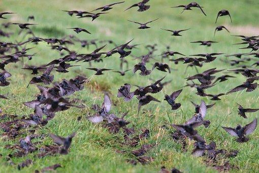 Birds, Thrushes, Grass, Pasture, Flying, Avian, Fauna
