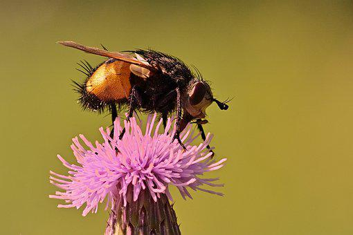 Fly, Insect, Thistle, Pest, Animal, Flower, Bloom