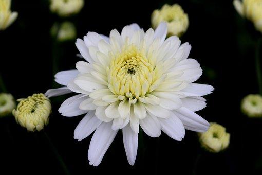 Chrysanthemum, Flower, Bloom, Blossom, Petals
