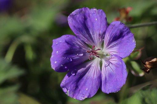 Crane's-bill, Geranium, Flower, Blossom, Bloom, Plant