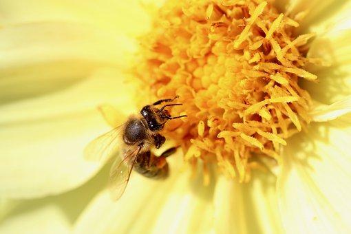 Bee, Insect, Pollen, Petals, Flower, Pollinate