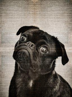 Pug, Dog, Puppy, Canine, Young, Mammal, Domestic