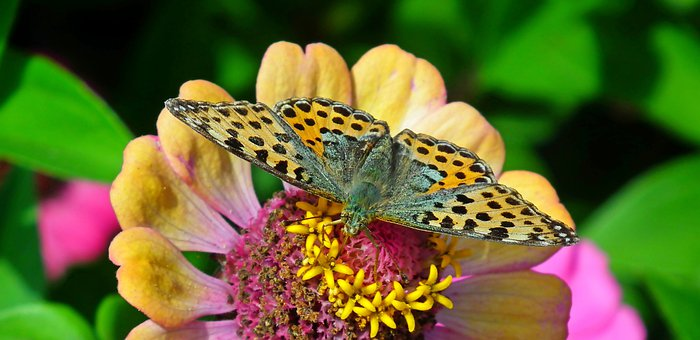 Butterfly, Insect, Flower, Queen Of Spain Fritillary