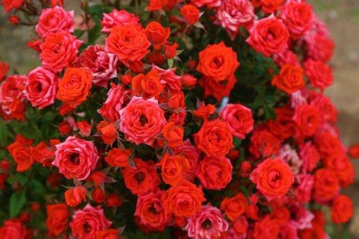 Garden Roses, Flowers, Garden, Roses, Red Roses