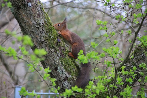 Squirrel, Rodent, Animal, Mammal, Red Squirrel