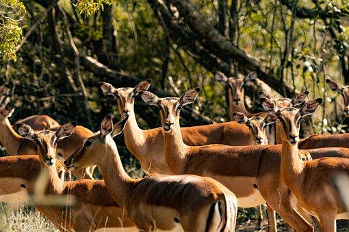 Impalas, Animals, Safari, Antelope, Ruminant, Mammals