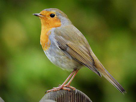 Robin, Songbird, Bird, Perched, Feathers