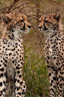 Cheetahs, Animals, Safari, South African Cheetahs