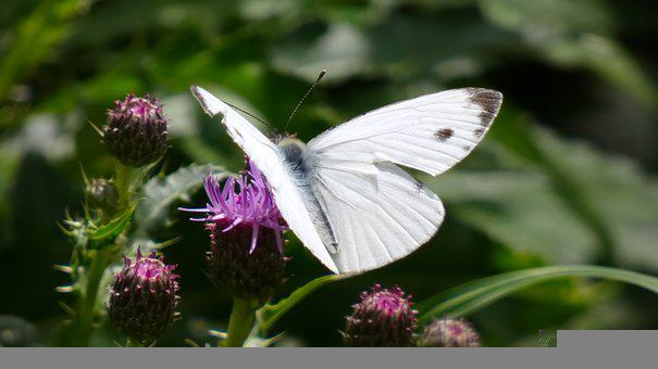 White, Thistles, Butterfly, Wings, Flowers