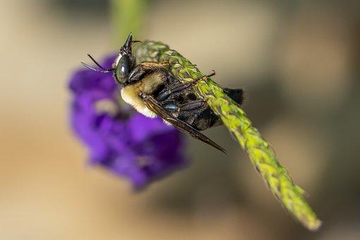 Bee, Bumble, Bumblebee, Insect, Bug, Wings, Animal