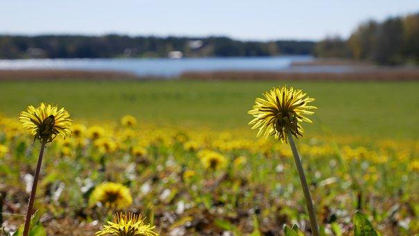 Flowers, Field, Meadow, Yellow Flowers