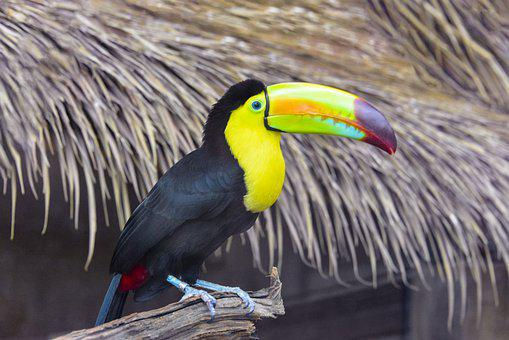 Keel-billed Toucan, Bird, Animal
