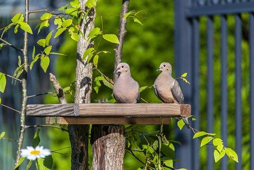 Mourning Doves, Birds, Animals, Rain Doves, Doves