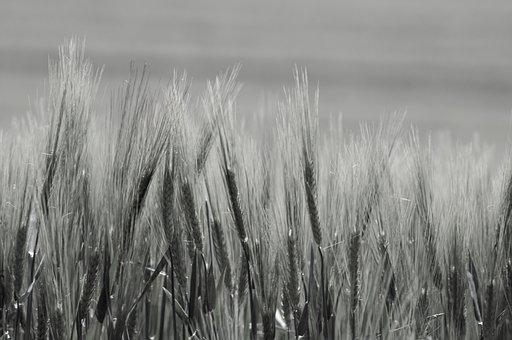 Wheat Crops, Barley, Crops, Cereals