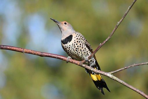 Flicker, Bird, Animal, Yellow-shafted Flicker