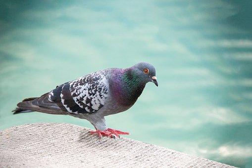 Dove, Pigeon, Bird, Rock Dove, Rock Pigeon