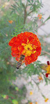 French Marigold, Flower, Bee, Insect, Animal, Bloom