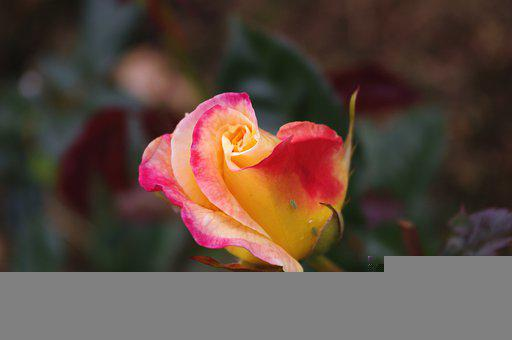 Flower, Rose, Blooming, Blossoming, Flora, Floriculture