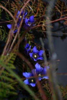 Japanese Gentian, Flowers, Plant, Blue Flowers, Bloom