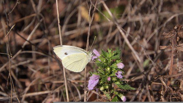 Cabbage White, Pieris, Butterfly, Insect