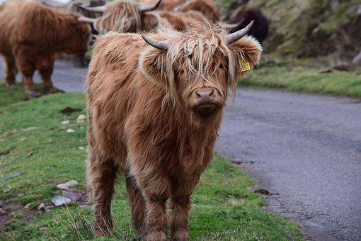 Highland Cattle, Animal, Livestock, Highland Cow, Cow