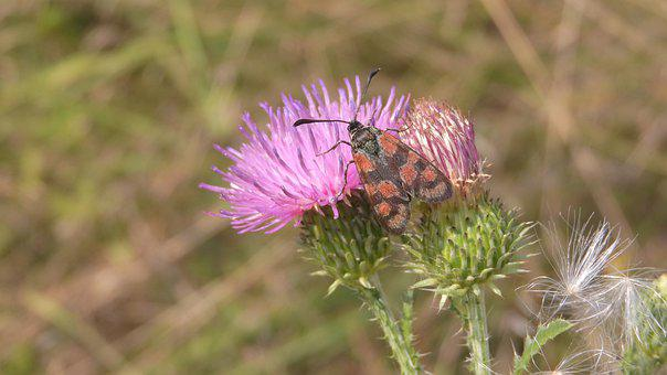 Insect, Flower, Wings, Antennae, Zygaena Carniolica