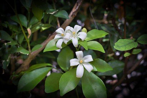 Jasmine, Flowers, Leaves, White Flowers