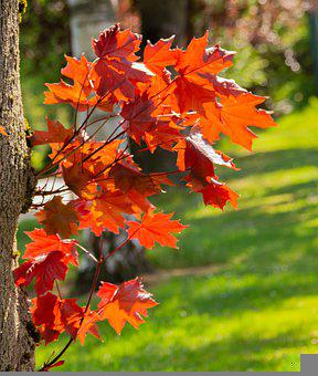 Maple Leaves, Autumn, Leaves, Foliage, Maple, Tree