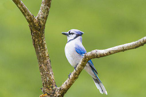 Bird, Blue Jay, Perched, Tree, Branch, Plumage