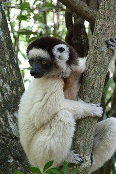 Sifaka, Animal, Wildlife, Lemur, White Sifaka, Primate