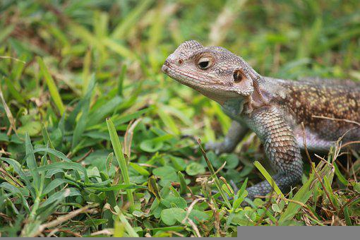 Lizard, Agama, Animal, Reptile, Wildlife, Fauna