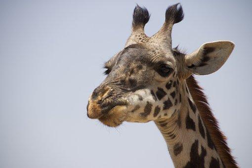 Giraffe, Animal, Safari, West African Giraffe