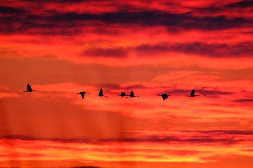 Cranes, Sky, Sunset, Migratory Birds, Silhouette