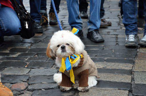 Dog, Pet, Sweater, Leash, Ribbon, Protest