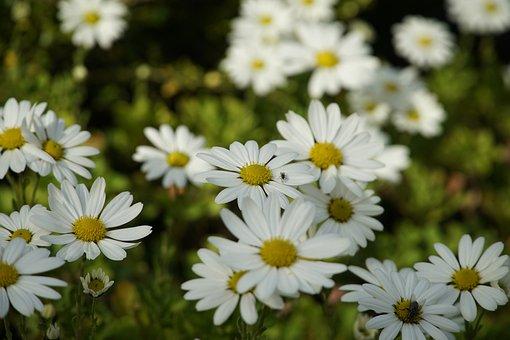 Marguerites, White Flowers, Field, Meadow