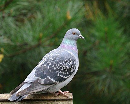 Feral Pigeon, Bird, Animal, City Dove, City Pigeon
