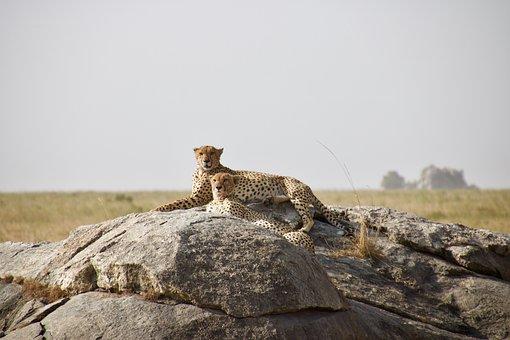 Cheetahs, Animals, Safari, Mammals, Big Cats