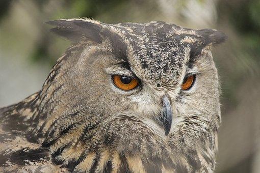 Eagle Owl, Bird, Zoo, Owl, Eurasian Eagle Owl