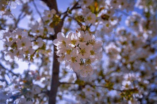 Cherry Blossom, Flowers, Cherry Tree
