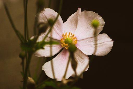 Japanese Anemone, Flower, Garden, Bloom, Blossom