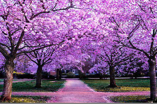 Flowers, Trees, Pathway, Cherry Blossoms, Petals, Park