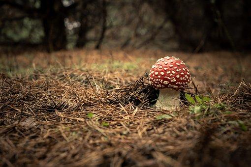 Mushroom, Toadstool, Fly Agaric, Fly Amanita