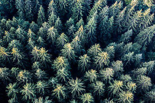 Trees, Firs, Forest, Aerial, Perspective