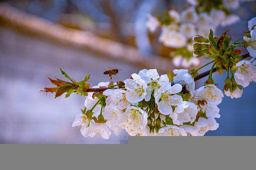 Cherry Blossom, Flowers, Bee, Insect