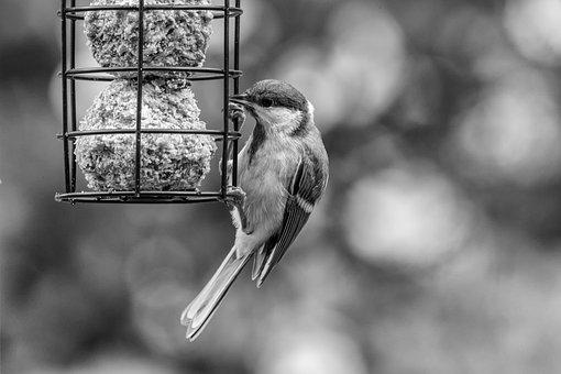 Bird, Tit, Feeder, Feather, Wild, Garden, Nature, Fauna