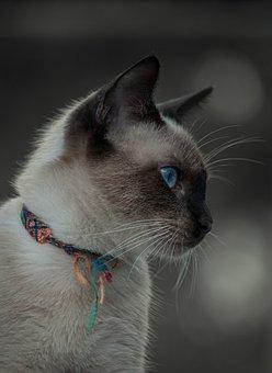 Cat, Pet, Animal, Siamese, Domestic Cat, Feline, Mammal