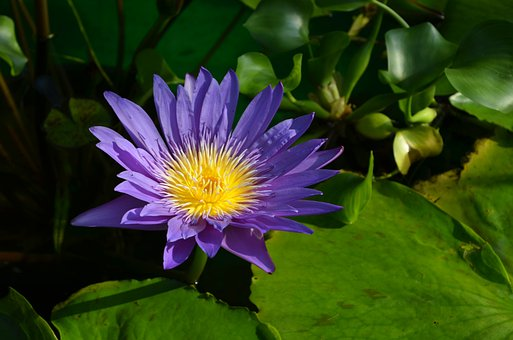 Water Lily, Flower, Petals, Bloom, Blossom