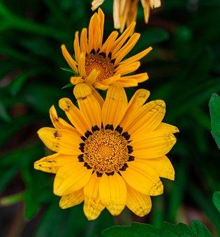 Treasure Flowers, Flowers, Plant, Yellow Flowers, Bloom